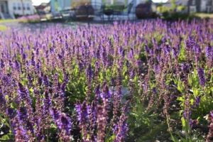 The planting of purple fruits, vegetables and flowers